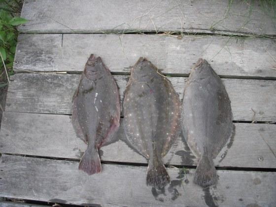 flounder 043