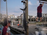 South Jersey Shark tournament weigh in