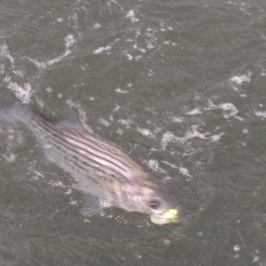 Back Bay striper
