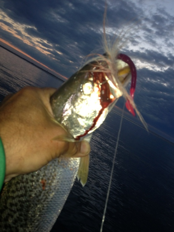 First weakfish of the morning