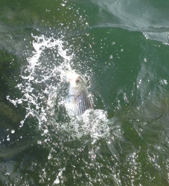 One of today's stripers  attacks my lure.