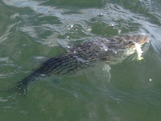 One of today's striped bass, at the end of the fight.