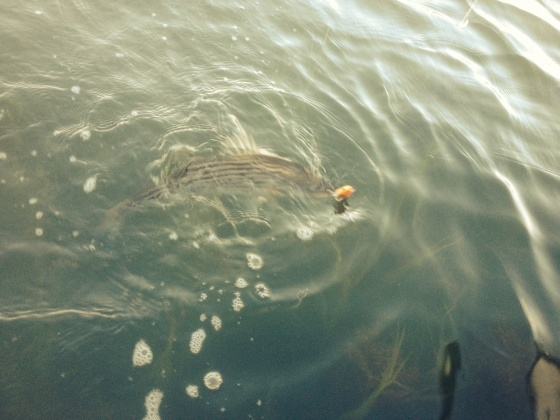 I spotted this striper feeding in just a couple feet of 75 degree  water.
