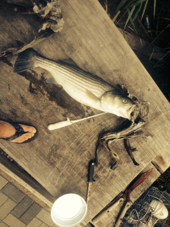 Kept one of today's striped bass for dinner, a 30