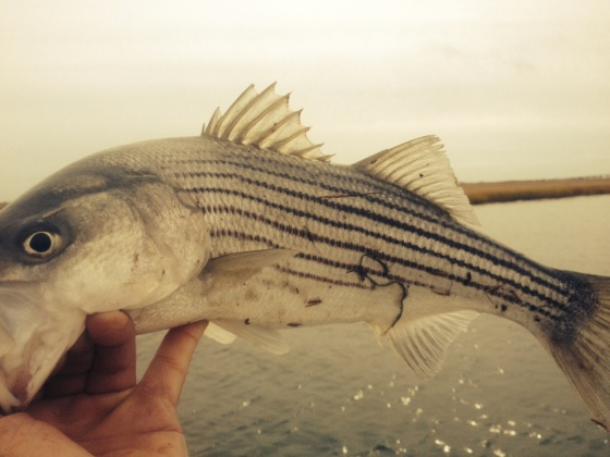 One of Tuesday 's striped bass